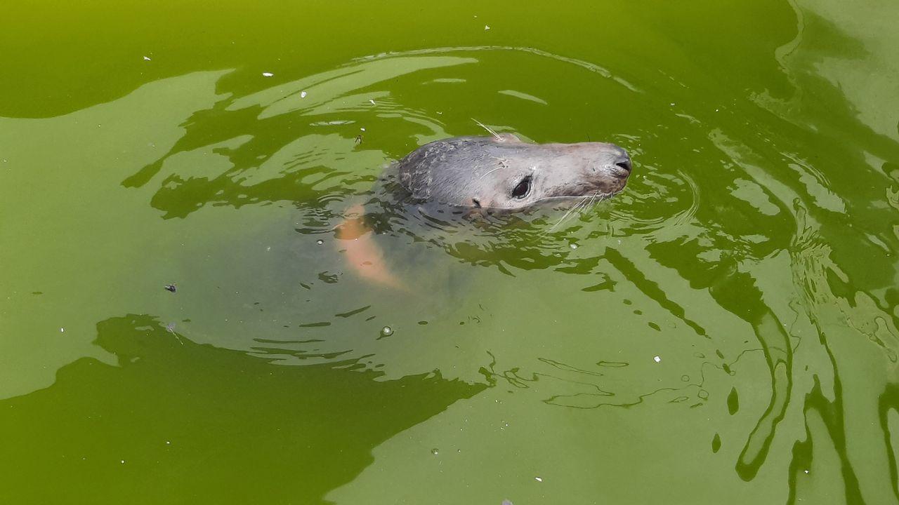 Heijdse visnet-zeehond 'Langoustinie' overleden