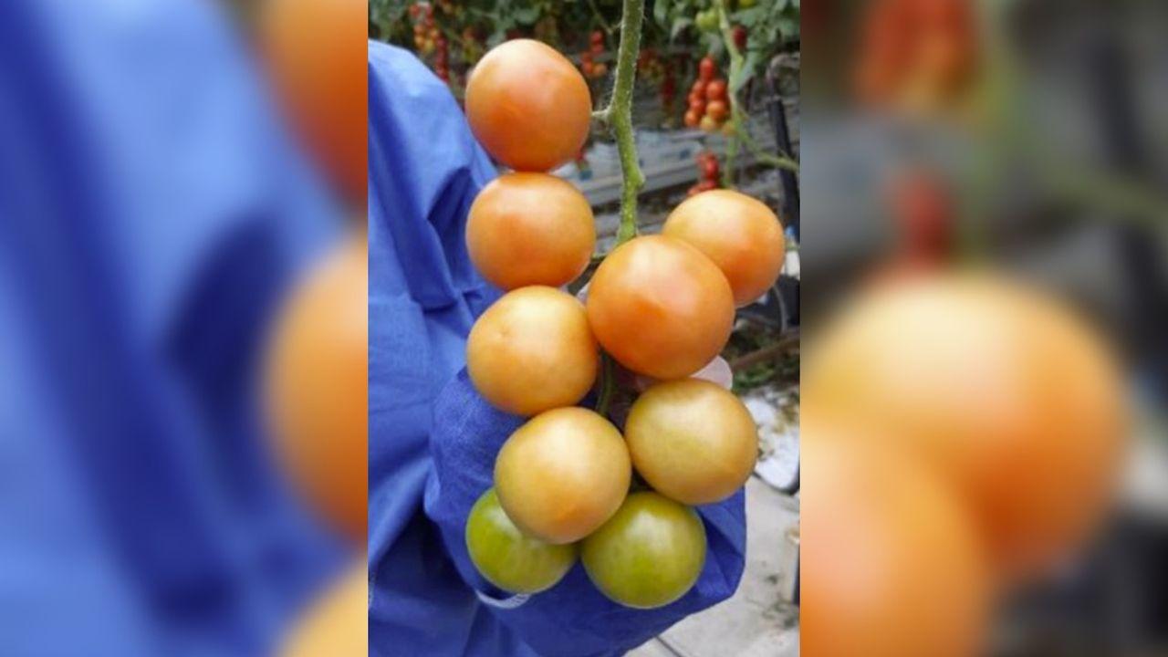 Opnieuw tomatenvirus gevonden bij Westlandse tuinder