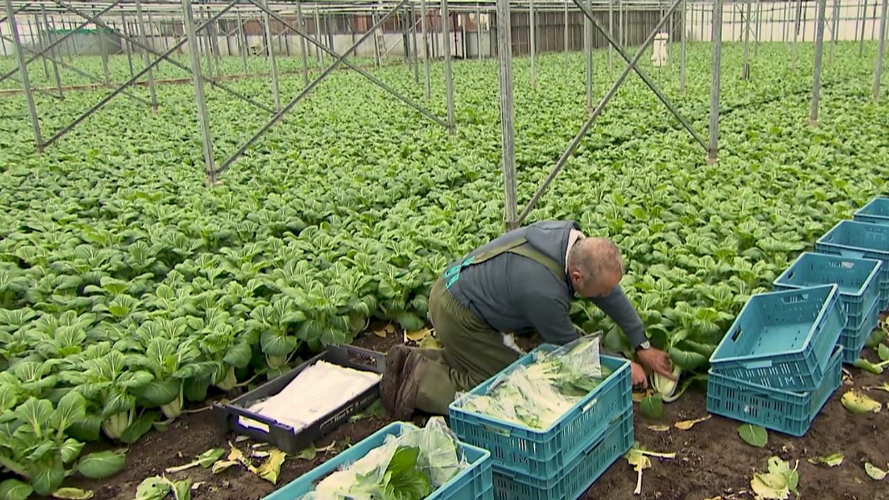 Bijzondere groente in de kas: Westlander teelt al twaalf jaar paksoi