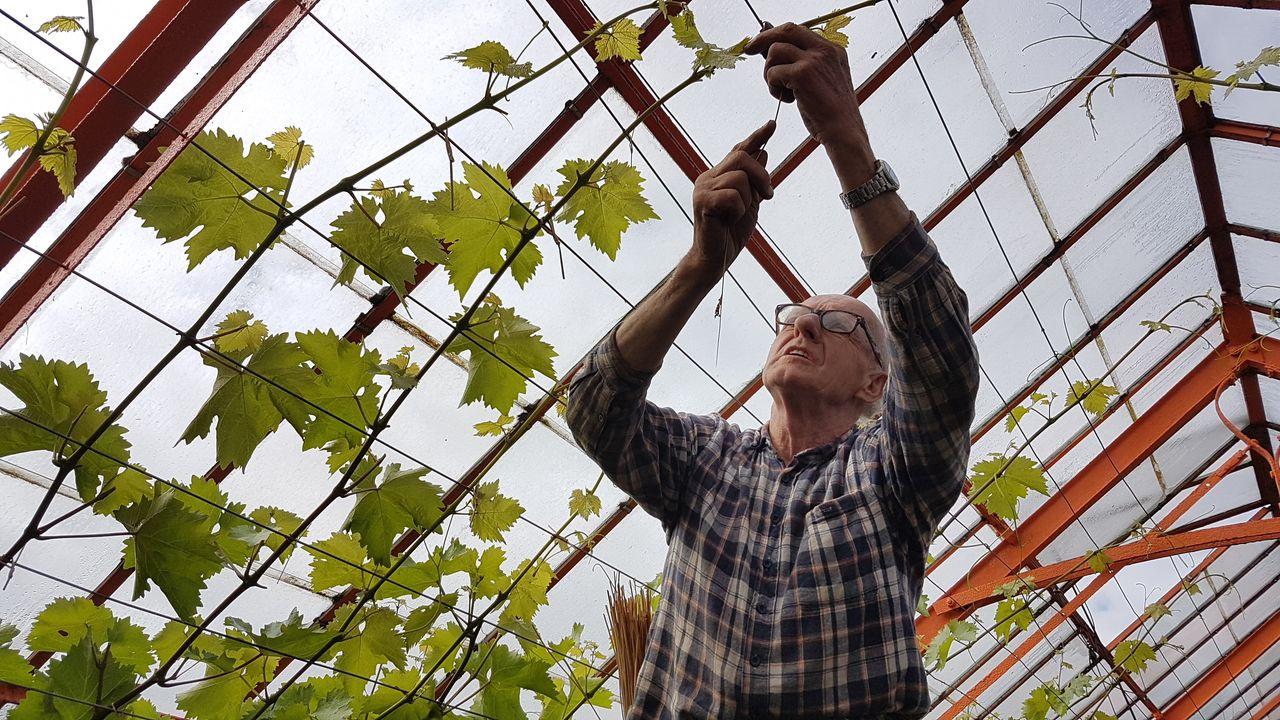 Eerste druiven weer verkrijgbaar in Kwintsheul