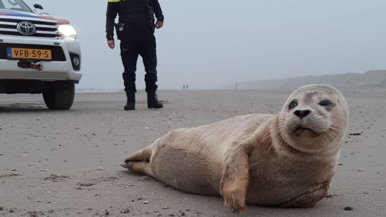 Agenten helpen gewonde zeehond