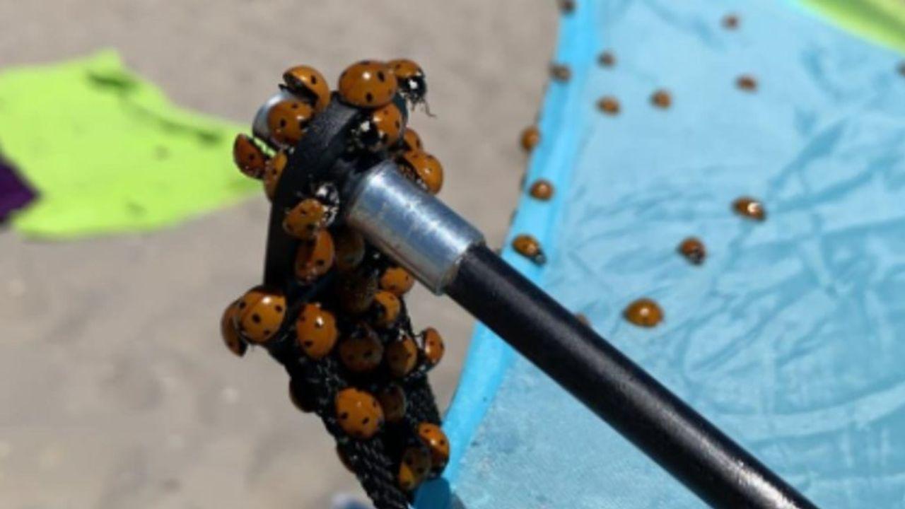 Plaag van lieveheersbeestjes op het strand