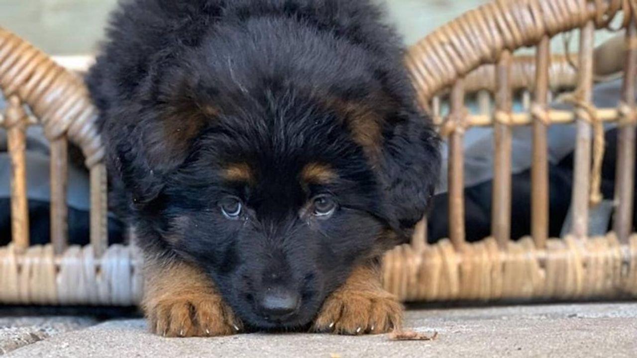 Steeds meer zieke puppy's door toename verkoop bij broodfokkers: 'Jody na tien dagen dood'