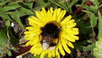 Online lezing wilde bijen in je tuin