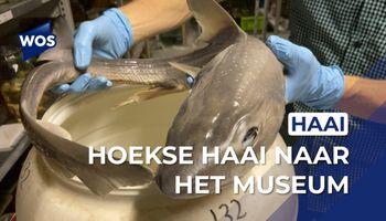 Aangespoelde haai naar het museum