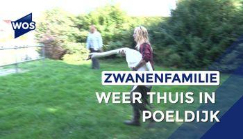 Zwanenfamilie terug in Poeldijk